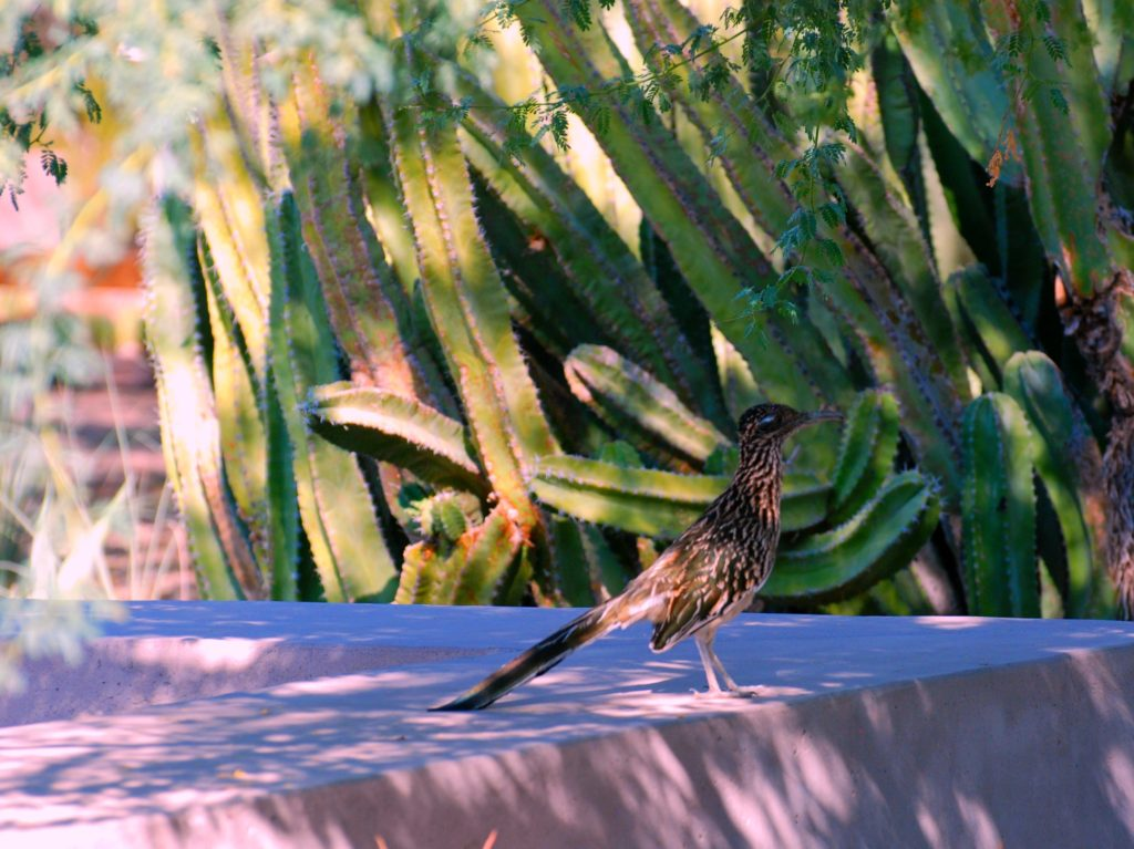 Desert Botanical Garden road runner