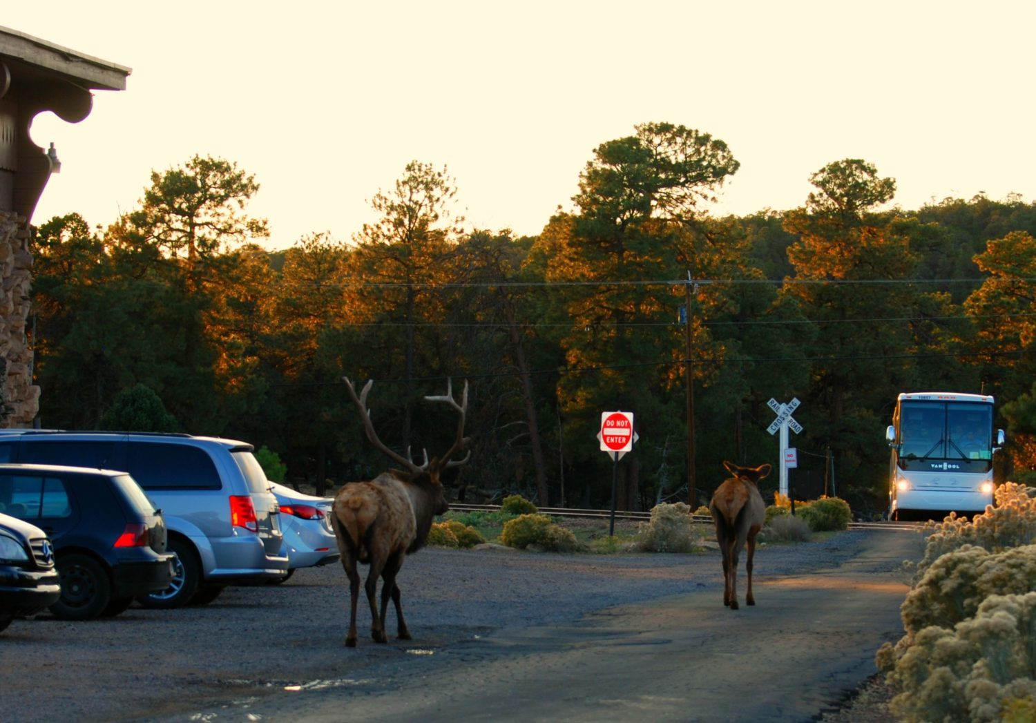 Grand Canyon Village Elk