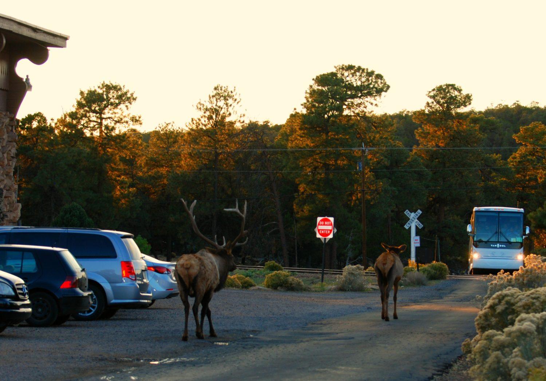 Grand Canyon Village Elk